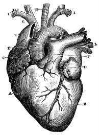 Engraving of the human heart