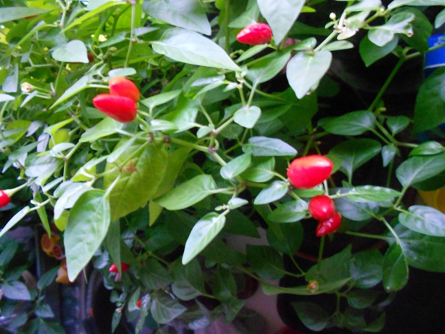 How to Grow Chili Plants in Your Home