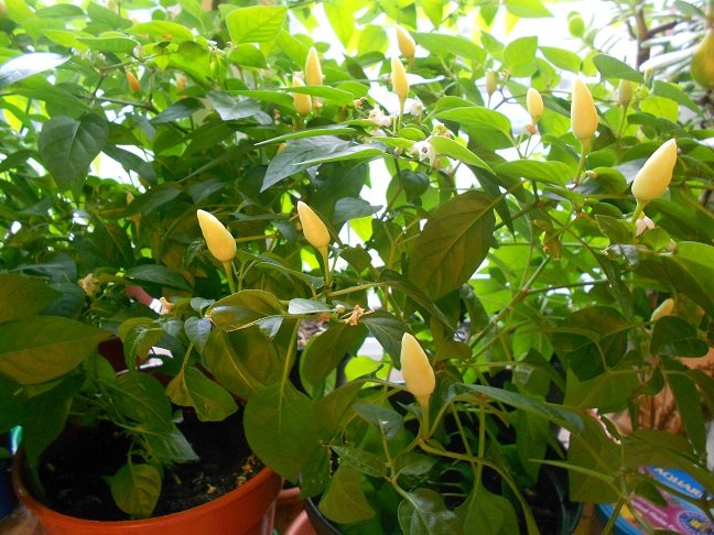 How to Grow Chilli Plants in Your Home